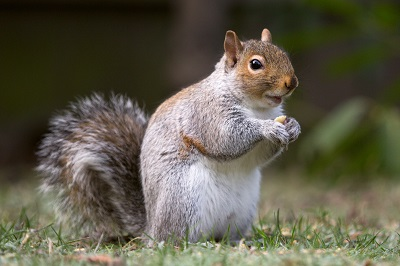eastern_gray_squirrel_20_by_easterngraysquirrel-d5q2kvs-1